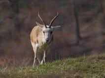 Position persane de plan rapproché de gazelle Photographie stock