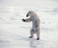 position polaire d'ours Image libre de droits
