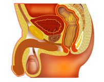 Position of the Prostate Gland. The prostate gland and its relationship to the bladder rectum and pubic bone Stock Photography