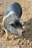 Position rare de porc de race Photographie stock libre de droits