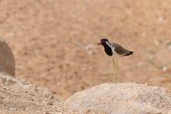 Position rouge-Wattled de vanneau dans le sable et la roche chauds bruns dans l'indicus de Vanellus des Emirats Arabes Unis image libre de droits