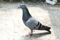 position se reposante de pigeon d'oiseau sur l'autoguidage vert-bleu de coureur de barre de toit Image stock