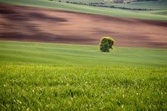 Position solitaire d'arbre dans un domaine onduleux au printemps Jeunes jeunes plantes fraîches de blé et champ arable de culture images libres de droits