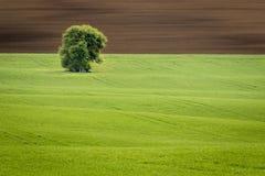 Position solitaire d'arbre dans un domaine onduleux au printemps Jeunes jeunes plantes fra?ches de bl? et champ arable de culture image stock