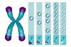 Position of telomeres at the end of our chromosomes. royalty free illustration