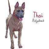 Position thaïlandaise rouge de race de chien de Ridgeback de vecteur Photo stock