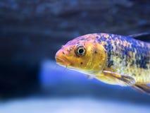 Position tropicale de poisson rouge colorée par jaune dans l'aquarium image stock