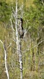 Position verte de héron sur une branche d'arbre photo libre de droits
