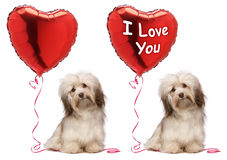 Positionnement de crabot de Valentine Havanese d'amoureux Photos stock