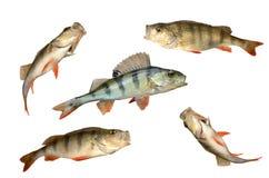 Positionnement de poissons de perche Image stock