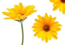 Positionnement jaune de fleur Photographie stock libre de droits