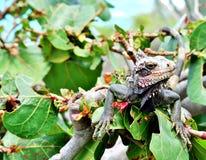 Positions abandonnées d'iguane sur la maison tropicale Photo libre de droits