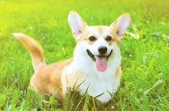Positive dog Welsh Corgi Pembroke on the grass Royalty Free Stock Image