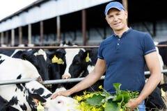 Positive farmer is feeding cows. Farmer carefully feeds cows with fresh grass stock photography