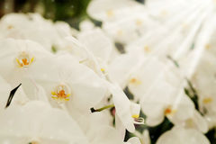 Positive feeling light white Farland orchid flower in garden with nature white tone and soft focus background. Stock Images