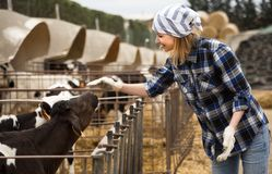 Female technician working with milky cows in cowhouse outdoors. Positive Female technician working with milky cows in cowhouse outdoors Royalty Free Stock Photo