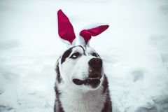Positive husky dog wearing bunny ears on the street in winter. Positive happy husky dog wearing bunny ears on the street in winter stock photos