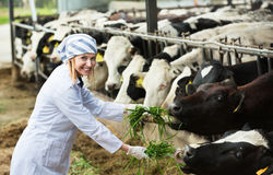Positive woman feeding cows with grass at cowhouse Royalty Free Stock Photography