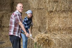 Young and mature fermers with pitchforks working in cows barn Stock Images