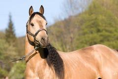 Posizione americana dello stallion del cavallo quarto Fotografia Stock Libera da Diritti