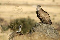 Posizione degli avvoltoi di Griffon Fotografie Stock