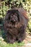 Posizione del cane del chow-chow immagini stock libere da diritti