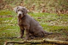 Posizione del cucciolo d'argento del laboratorio Immagine Stock Libera da Diritti