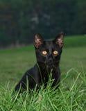 Posizione del gatto nero Fotografia Stock
