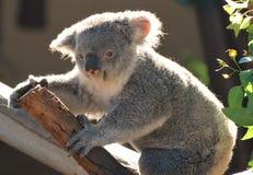 Posizione dell'orso di Koala fotografia stock