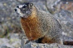 Posizione della marmotta Immagine Stock Libera da Diritti