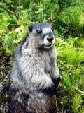 Posizione della marmotta Immagini Stock Libere da Diritti