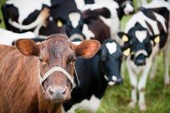 Posizione della mucca del Brown Immagine Stock