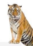 Posizione della tigre Fotografie Stock Libere da Diritti
