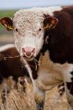 Posizione delle mucche Fotografie Stock Libere da Diritti