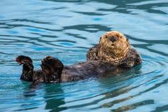 Posizione fresca - rilassandosi e guardando, lontra di mare fotografia stock