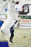 Posizione Mosca del cavallo bianco che sbarazza Hall International Horse Exhibition Immagine Stock