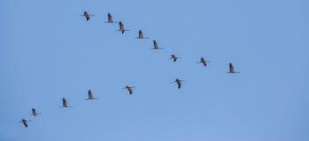 Pospolici żurawie na migraci Zdjęcia Royalty Free