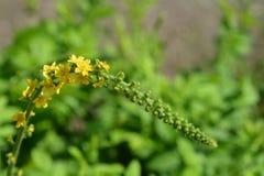 Pospolici agrimony kwiaty Zdjęcie Stock