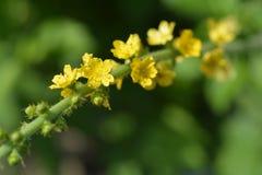 Pospolici agrimony kwiaty Zdjęcia Royalty Free