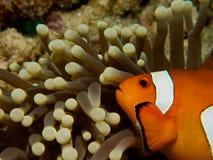 Pospolici clownfish 01 Zdjęcia Stock