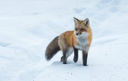 Pospolici Czerwonego lisa Vulpes vulpes spojrzenia dla jedzenia na zimy ` s dniu Nieuchwytny nieśmiały zwierzę komes z drewien Fotografia Royalty Free
