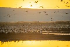 Pospolici dźwigowi ptaki w Agamon Hula ptaka schronieniu Obraz Royalty Free