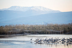 Pospolici dźwigowi ptaki w Agamon Hula ptaka schronieniu Fotografia Royalty Free