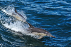POSPOLICI delfiny Obrazy Royalty Free