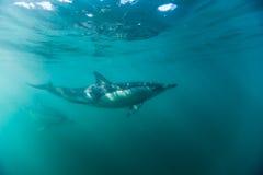 Pospolici dophins pływa właśnie pod powierzchnią Obraz Royalty Free