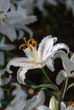 Pospolici imiona dla gatunków w ten genus zawierają czarodziejskiej lelui Fotografia Stock