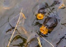 Pospolici karpie pływa w wodzie, europejscy karpie przychodzi nad woda z ich ustami, głodne ryby, popularna ryba w fotografia stock