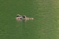 Pospolici Loon Gavia immer dziecka kurczątka samotnie na jeziorze Obrazy Royalty Free