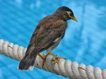 Pospolici Myna ptaka Acridotheres tristis na błękicie obciosują tło Obraz Stock