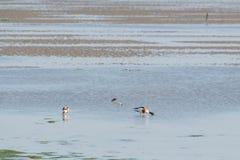 Pospolici shelducks foraging w Wadden morzu Fotografia Royalty Free